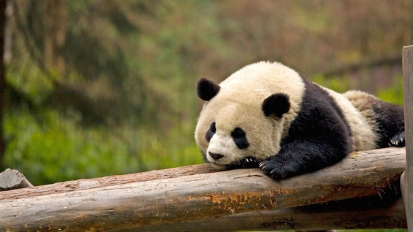 Giant Pandas Are No Longer 'Endangered', But They're Far from Safe