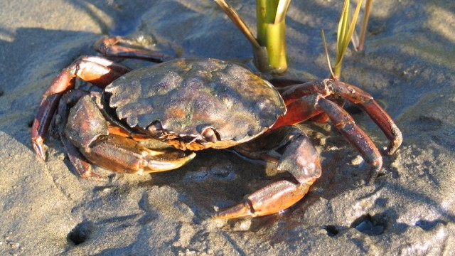 Why a Single Crab Has West Coast Researchers Worried