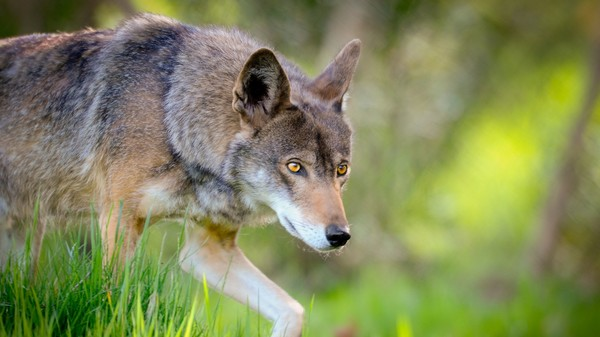 The World's Only Red Wolves Live in North Carolina, Many People Want Them Gone