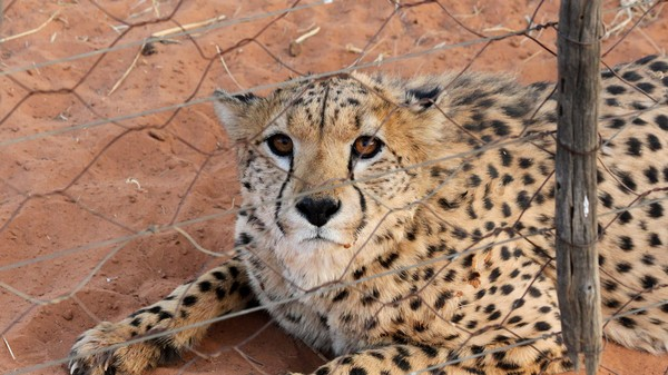 Instagram Cheetahs Are Now the Target of International Wildlife Officials