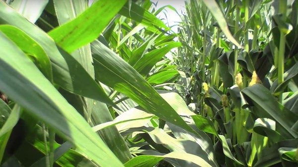 Soothe Yourself With This Timelapse of Corn Growing