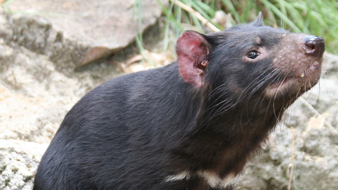 Baby Tasmanian Devils Have Given Us a Potential Treatment for Superbugs