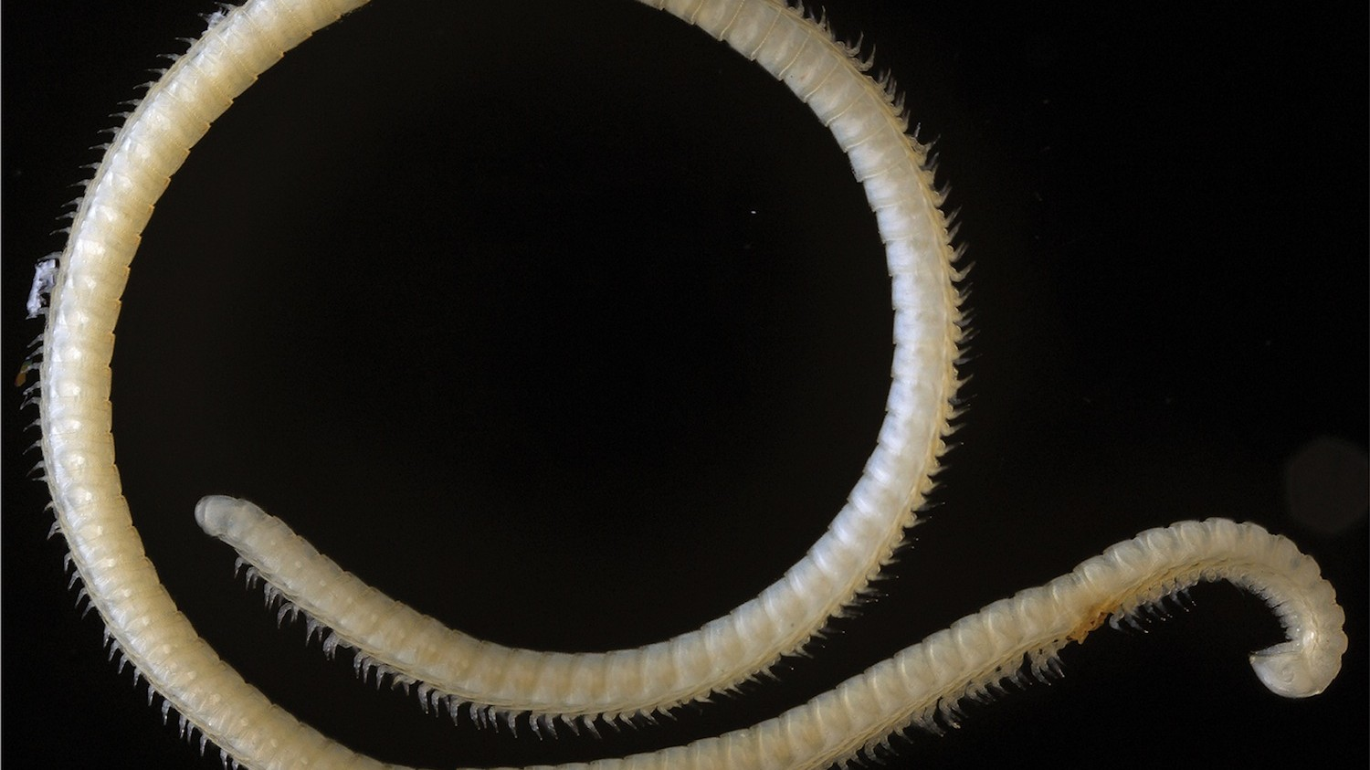 This Newly Discovered Millipede Has Hundreds of Legs and Three Extra Dicks