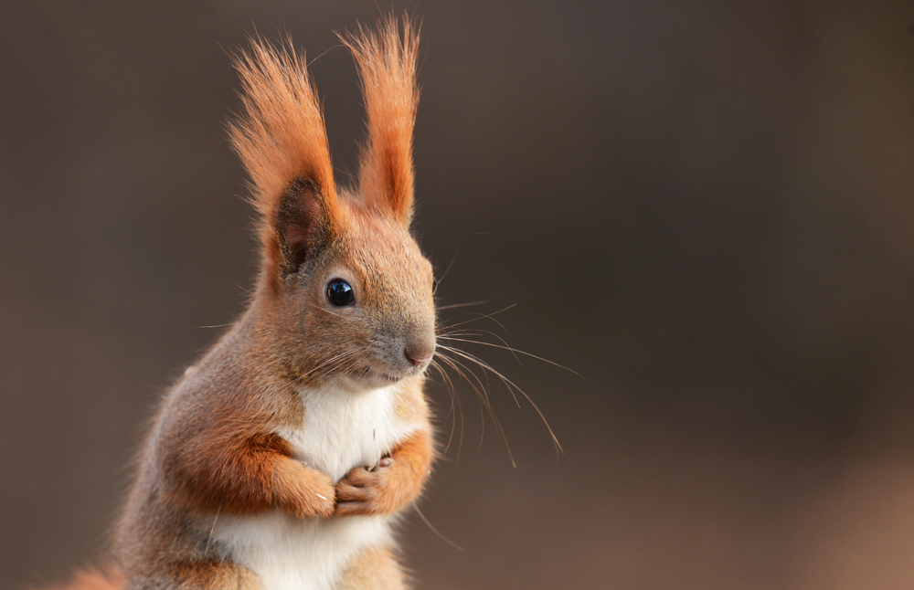 Medieval Leprosy Is Spreading Among UK Red Squirrels | Motherboard