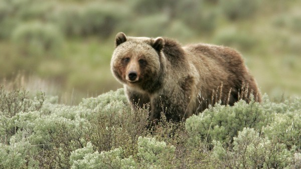 Tracking Grizzly Bears With a Smartphone App in Northern Alberta
