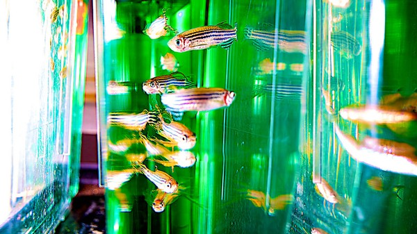 Scientists Are Furious Over Canada's Bizarre Ban on Importing Zebrafish
