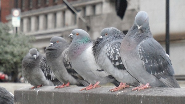 Pigeons in Spain Can Now Get Birth Control More Easily Than Most American Women
