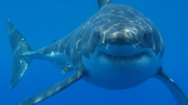 There Are Way More Great White Sharks in the Pacific Than Previously Thought