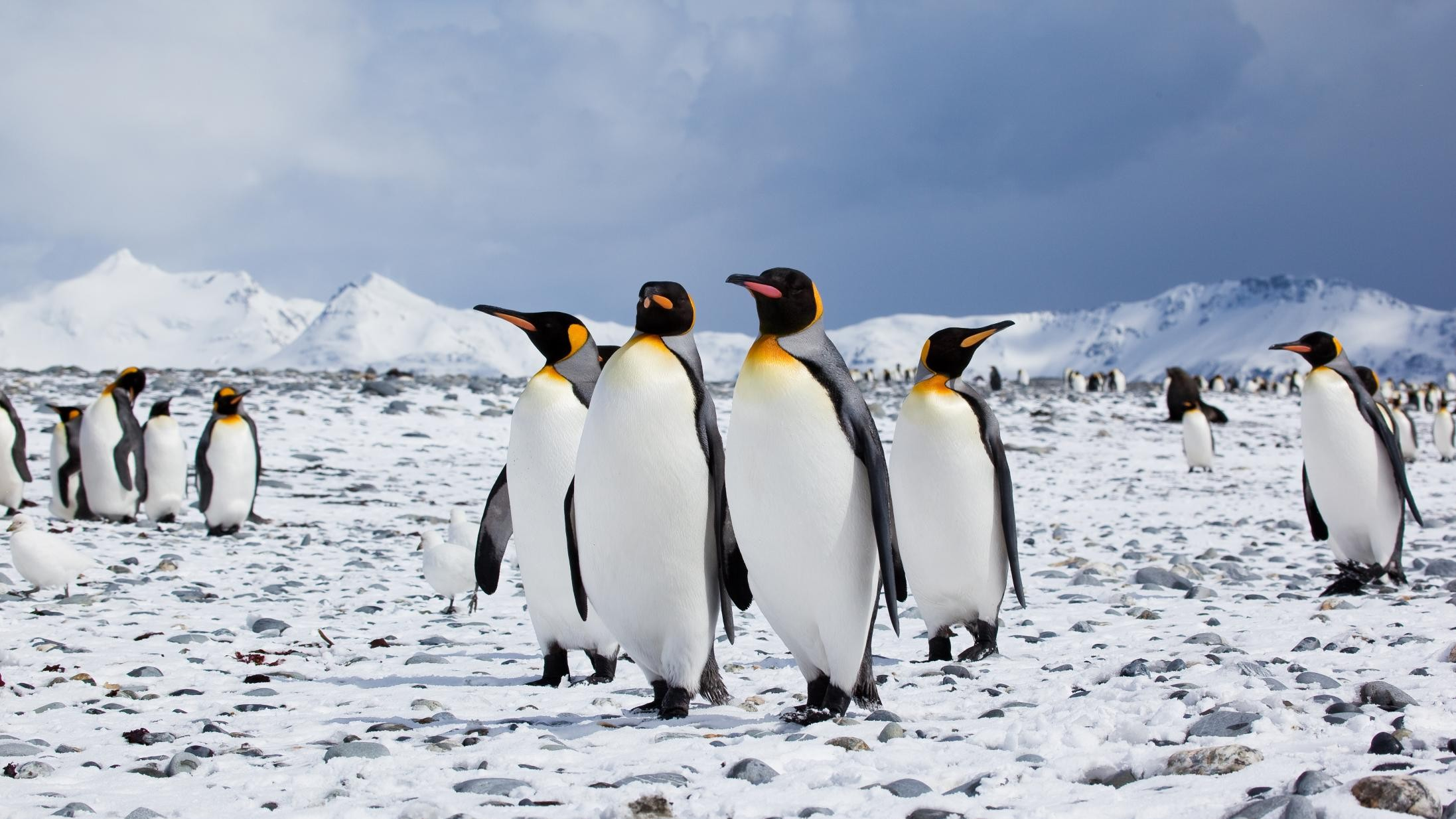 Emperor Penguins Are in Peril Worthy of Official Endangered Status