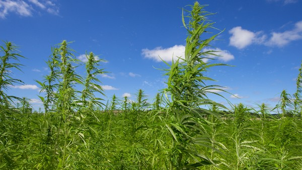 Hemp Supercapacitors May Power Devices of the Very Near-Future