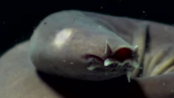 DNA From This Ugly Fish Is Being Used to Synthesize Bulletproof Slime