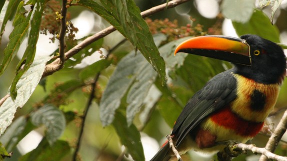 In Costa Rica, Younger Bird Species Are Better Equipped to Survive Mankind