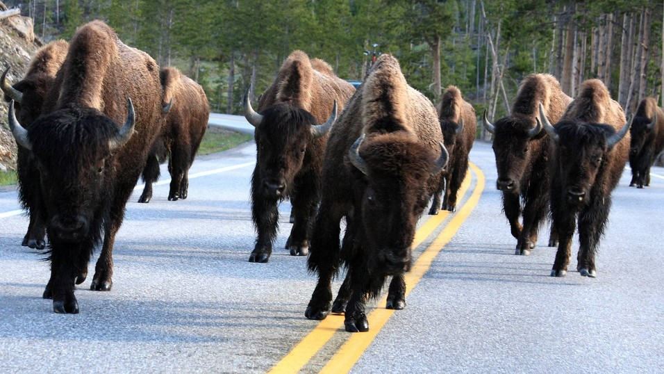 With a New First Nations Treaty, Buffalo Find a Whole New Home on the Range
