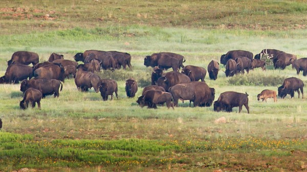 The Park Service Plans To Cull Nearly a Thousand Yellowstone Buffalo