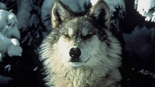​Killing Wolves Leads to More Livestock Deaths