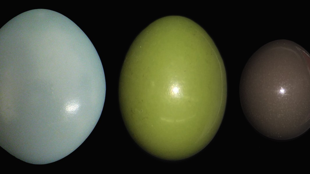 The Great Tinamou Lays the Fanciest Eggs in the Bird World