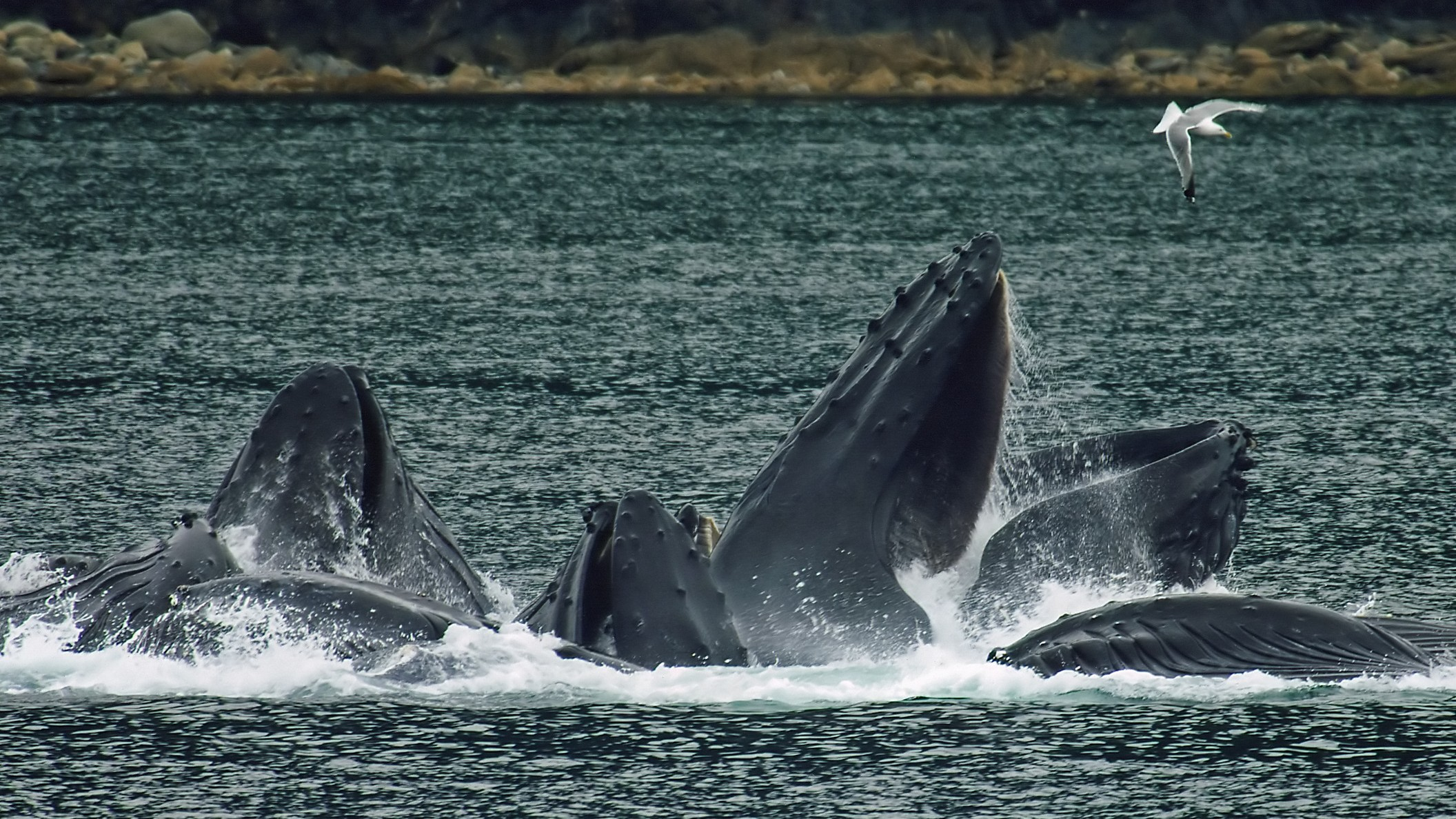 ​How Whales Geoengineer the Oceans for Us