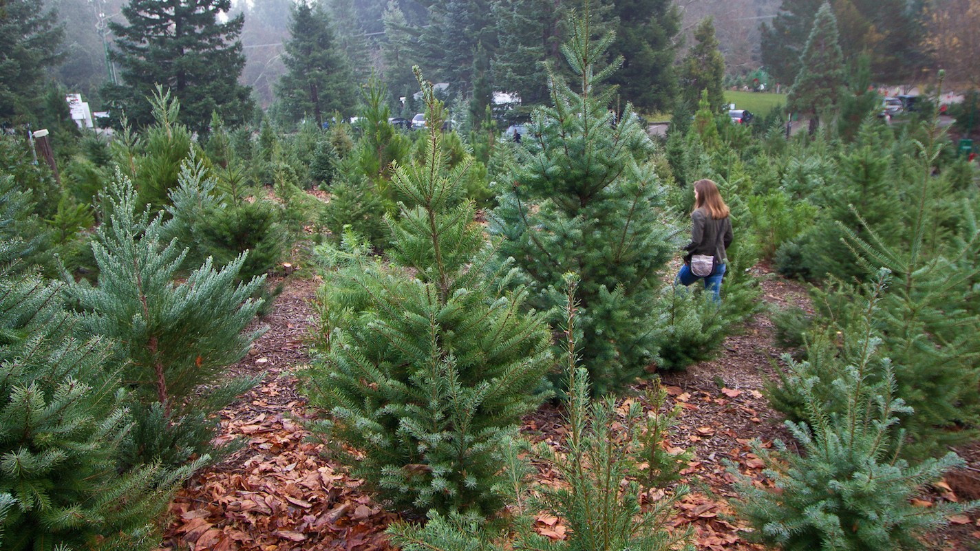 The Technological Battle for a Better Christmas Tree
