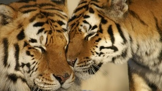 India's Wild Tiger Population Is Up 30 Percent Since 2010
