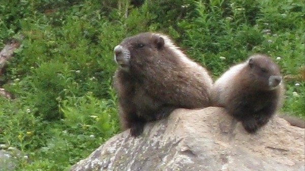 The Lessons of a Marmot Whistleblower
