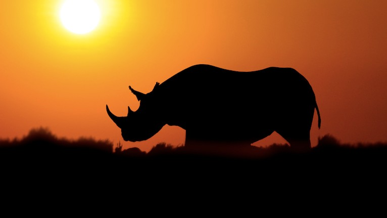 The Hail Mary Plan to Stop Rhino Poaching By Growing Horns in a Lab
