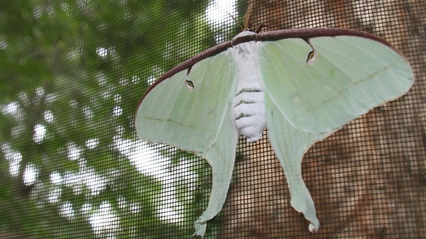 'Top Gun' But for Insects: These Moths' Long Tails Are Jammers for Bat Sonar
