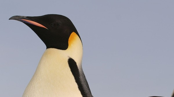 The Time Climate Change Drove Emperor Penguins to the Brink of Extinction