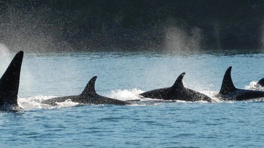 What Do Humans and Killer Whales Have in Common? Among Other Things, Menopause