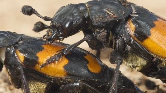 Having More Sex Makes These Male Beetles Feel Insecure