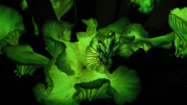 When the Sun Goes Down, These Mushrooms Glow Bright
