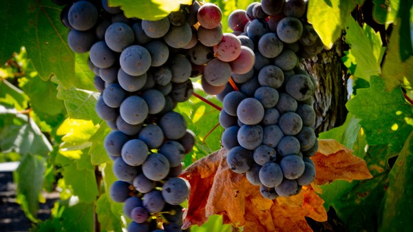 The Microbes in Your Merlot