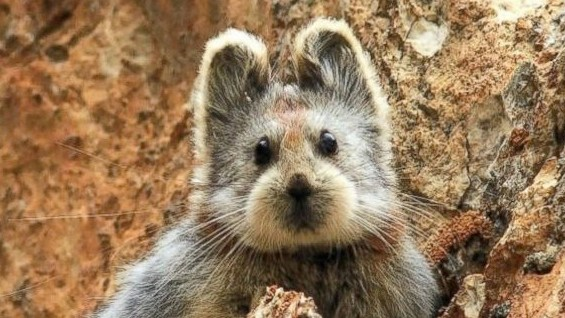 The Ili Pika Is Really Cute, and Really Close to Becoming Extinct