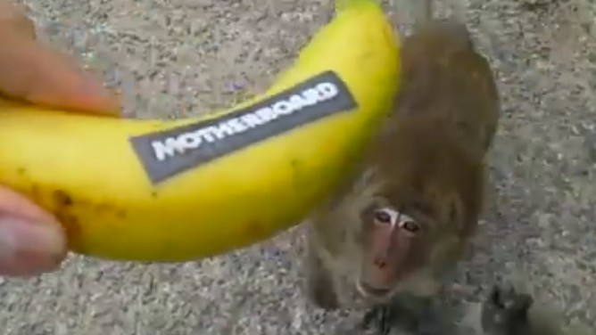 We Got a Bitcoin Performer to Feed Motherboard Bananas to Wild Monkeys