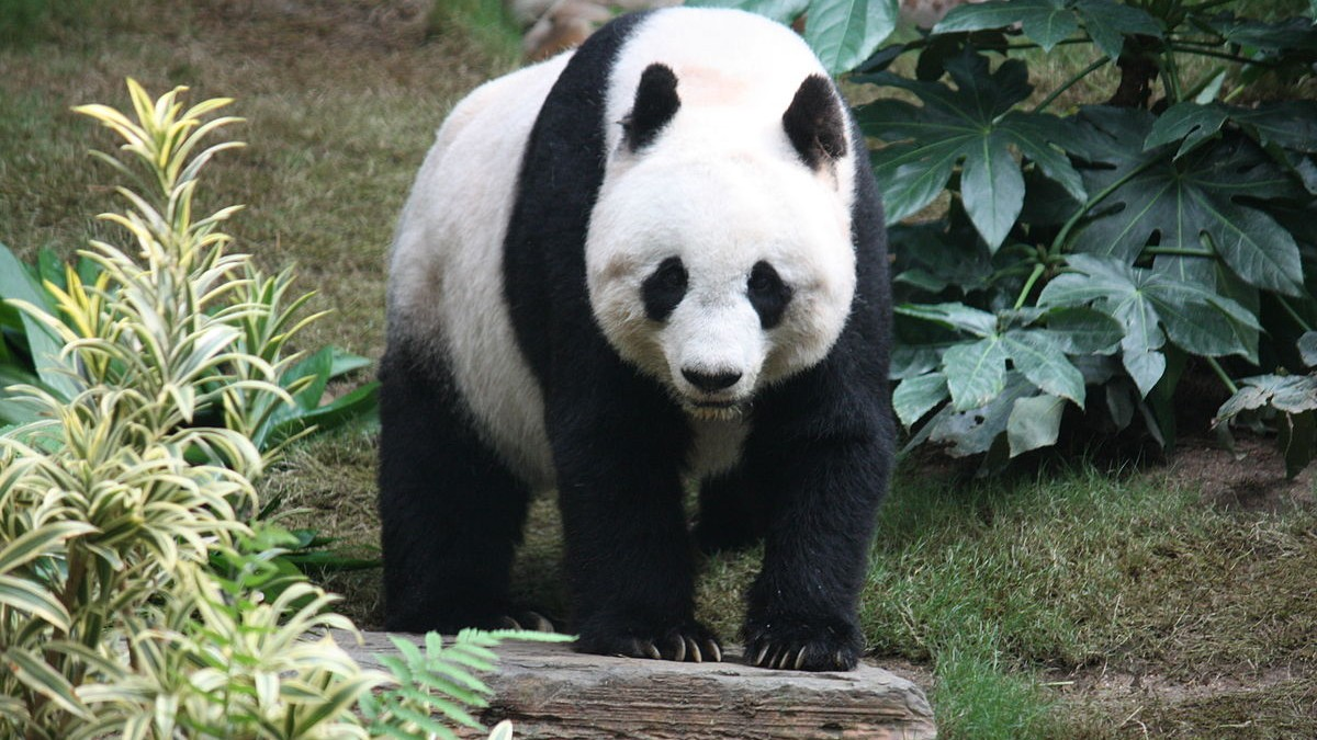 What Scientists Discovered By Electronically Stalking Wild Pandas
