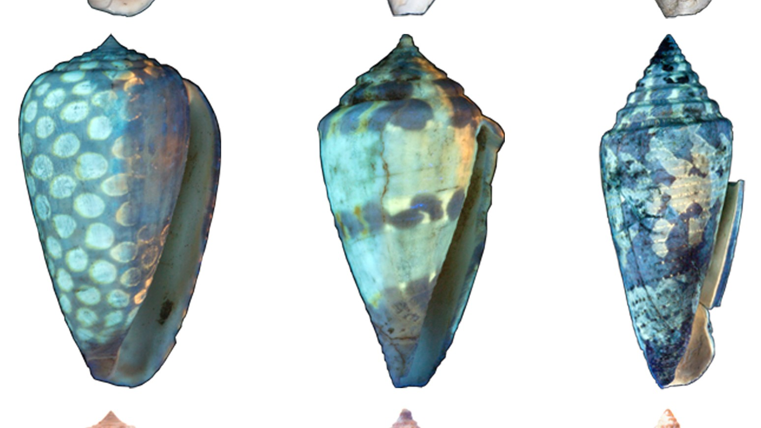 UV Light and Photoshop Return Color to 6 Million Year-Old Seashells