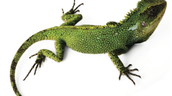 Three New Lizards Found in Threatened South American Rainforests