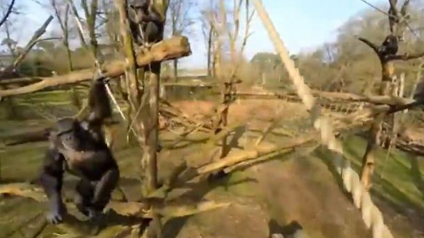 Watch This Pissed-Off Chimp Take Down a Surveillance Drone