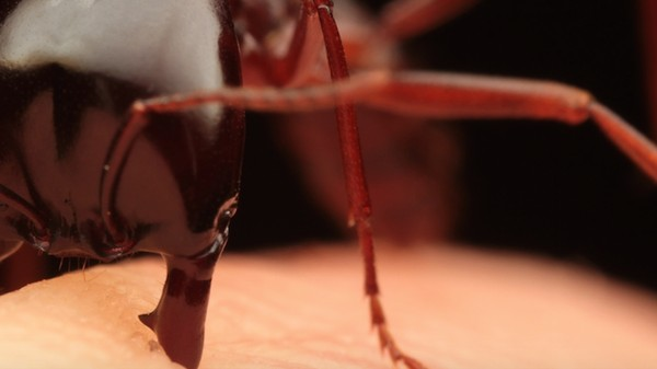 You Can Actually Use Ants to Stitch a Wound In the Wild