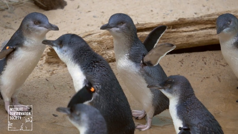 Bronx Zoo Is Now Home to 24 Little Penguins