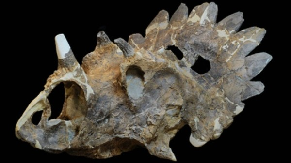 This New Dinosaur Is Like Triceratops with a Massive Kickass Crown