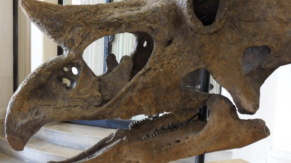 Why Triceratops Teeth Are Cooler Than Their Horns