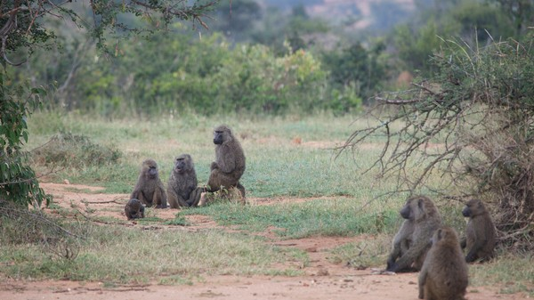 Infighting and Delays: Turns Out Baboons Vote Just Like Congress