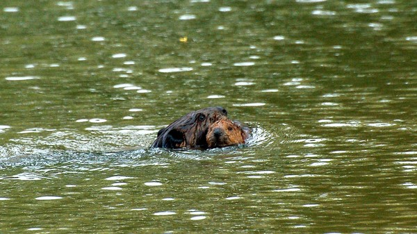 England's First Wild Baby Beavers In Centuries Are Here, and They're Super Cute