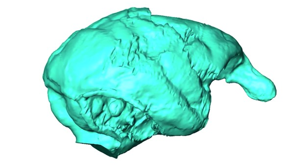 Watch the First 3D Scan of This Ancient Monkey Brain Spin Endlessly in Neon