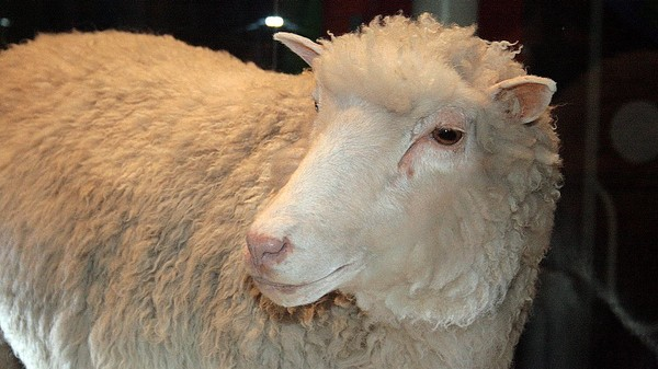 Happy Birthday to Dolly the Sheep, the First Cloned Adult Mammal