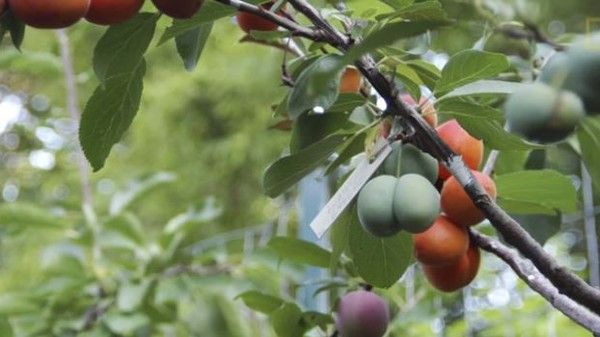 An Artist Has Created a Tree That Bears 40 Different Types of Fruit