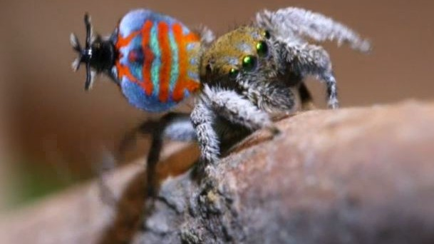These Peacock Spiders Have Better Mating-Season Moves Than You