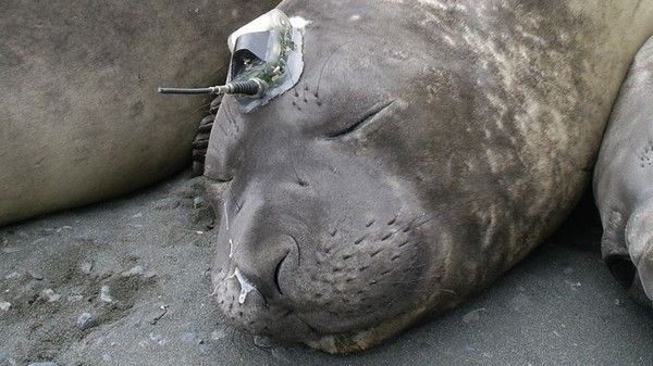 The Internet of Elephant Seals