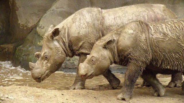 The United States' Lone Sumatran Rhino Is Heading Home to Find Love