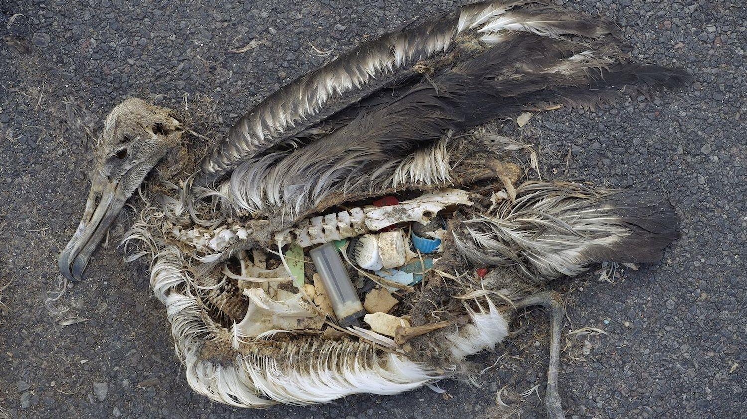 Plastic Will Be Inside Nearly Every Seabird on Earth by 2050